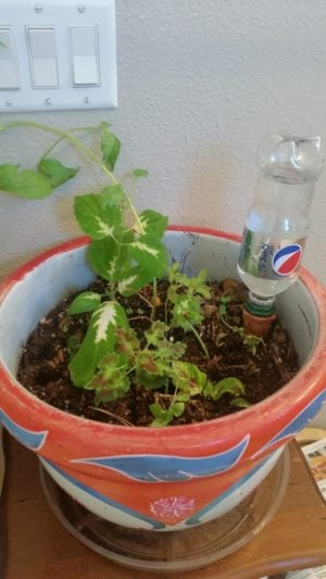 pot with terracotta watering stake used with a bottle of pepsi